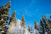 Snow-covered pines and birches with blue sky in the background — Stock Photo
