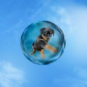 Sweet rotweiler puppy sitting in a bubble in the sky — Stock Photo