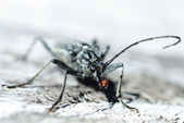 Terrifying black beetle — Stock Photo