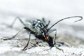 Terrifying black beetle — Stock Photo