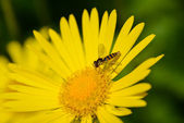Beautiful yellow daisy, oxeye, with a bee — Stock Photo
