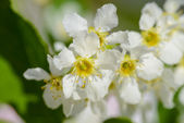 красивые цветы вишни — Стоковое фото