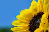Sunflower against a clear blue sky — Stock Photo