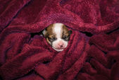 Smiling small chihuahua puppy wrapped in a blanket — Stock Photo