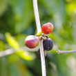 Coffe Seeds — Stockfoto #12489219