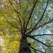 Stock Photo: Northern red oak, Quercos Rubra
