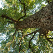 Cork oak tree, Quercos Suber - Stock Photo