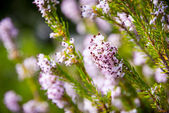 Light pink heath plant blossoming close up — Stock Photo