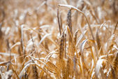 Wheat, closeup of wheat in a field — Foto Stock