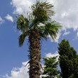 Palm tree and sky - Stock Photo
