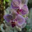 Stock Photo: Fine orchid