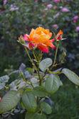 Rosa fino — Foto de Stock