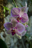 Fine orchid — Stock Photo