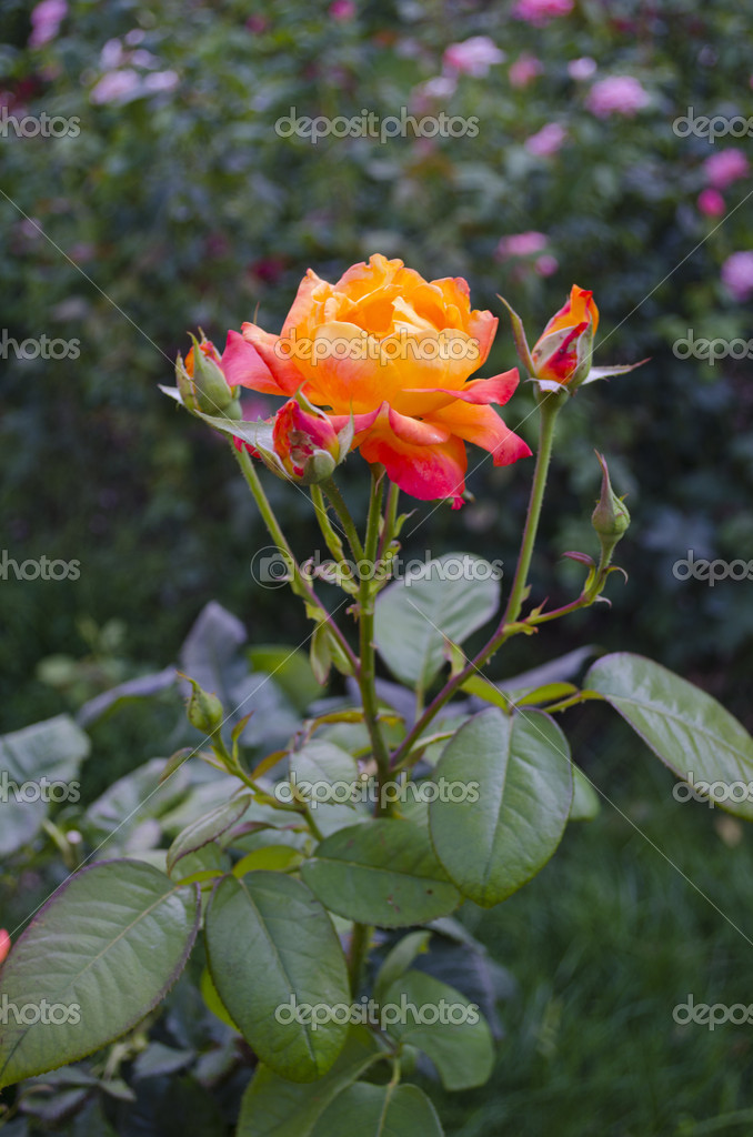 Fine orange rose macro against a green grass — Stock Photo #13172719
