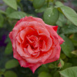 Stock Photo: Fine rose