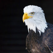 Portrait of a bald eagle (lat. haliaeetus leucocephalus) — Stock Photo