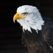 Portrait of a bald eagle (lat. haliaeetus leucocephalus) — Stock Photo
