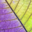Leaf of plant close up, half green and half purple — Stock Photo #16854149
