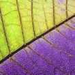 Leaf of a plant close up, half green and half purple — Zdjęcie stockowe