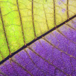 Leaf of a plant close up, half green and half purple - Foto Stock