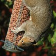 Squirrel at feeder - Stock Photo