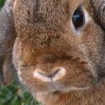 conejo mascota — Foto de Stock