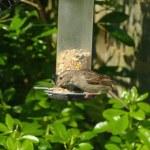 Sparrow bird on feeder — Stock Photo