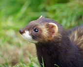 Polecat animal — Stock Photo