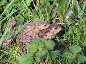 Toads mating — Stock Photo