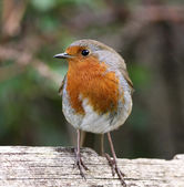 Robin side profile — Stock Photo