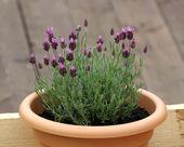 Lavender in pot — Stock Photo
