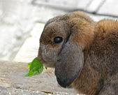Rabbit eating — Stock Photo