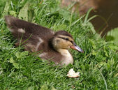 Duckling on grass — Stock Photo