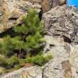Pine on rock ledge — Stock Photo #41110043