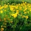 Yellow flowers on a green meadow. — Stock Photo