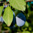 Ripe plum - Stockfoto