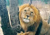 The lion — Stock Photo