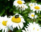 A beetle on a daisy — Stock Photo