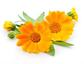 Calendula. flowers with leaves isolated on white — Stock Photo