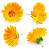 Marigold flowers. Calendula. flowers isolated on white. set — Stock Photo