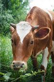 Koe op een groene zomer weide. onscherpe achtergrond — Stockfoto