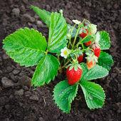 Bush of strawberry — Stock Photo