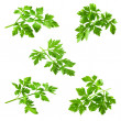 Collection of parsley isolated on white — Stock Photo #39566997