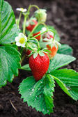 Bush of strawberry — Stockfoto