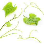 Grape leaves and tendrils isolated on white. Collection — Stock Photo