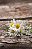 Group of organic chamomile flowers — Stock Photo