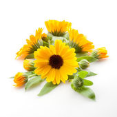 Calendula. Marigold flowers with leaves isolated on white — Stock Photo