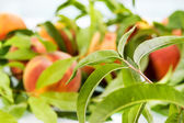 Peach. Fruit background. Soft focus — Stock Photo