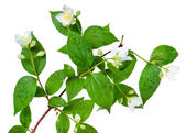 Jasmine flower with leaves on branch isolated — Stok fotoğraf