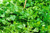 Fresh parsley — Foto de Stock